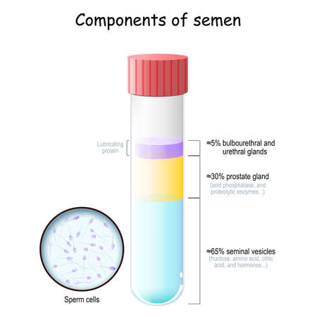 Semen components. Test tube with sperm cells. percentage of secretions from seminal vesicles, testes, prostate, bulbourethral, and urethral glands. Close-up of Spermatozoon. vector illustration on white background.