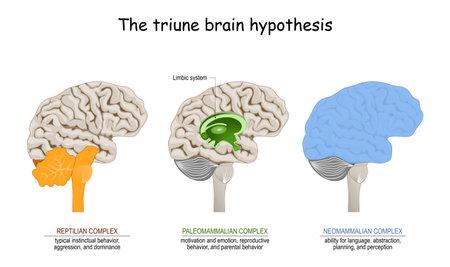 triune brain hypothesis. theory about evolution of human's brain. limbic system. Reptilian complex (basal ganglia for instinctual behaviors), mammalian brain (septum, amygdalae, hypothalamus, hippocamp for feeling) and Neocortex (cognition, language, sensory perception, and spatial reasoning). Vecteurs