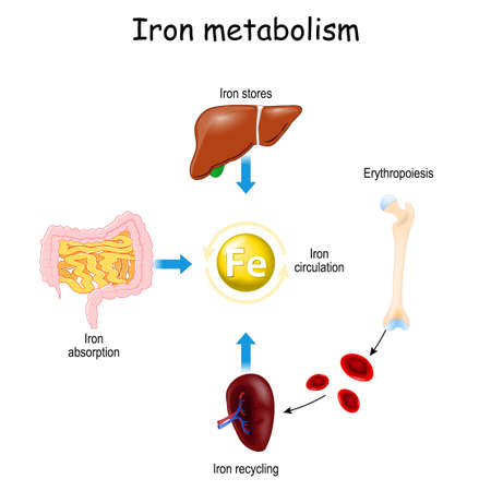 Iron metabolism. from liver, intestine and spleen. Ferrum circulation, recycling, stores and absorption. Erythropoiesis. Iron with red blood cells moving from bone to blood, and spleen