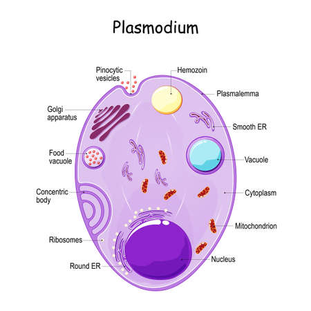 Plasmodium anatomy. Structure of unicellular parasite of vertebrates and insects. causative agent of malaria. vector diagram Vector Illustration