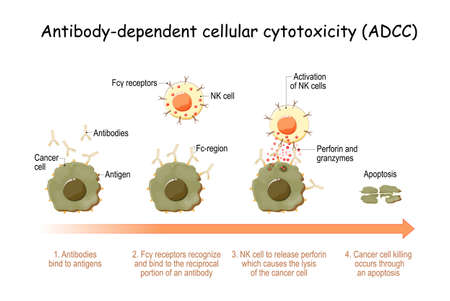 Antibody-dependent cellular cytotoxicity (ADCC). cell-mediated immune defense. Antigens of cancer cell have been bound by specific antibodies. immune system with natural killer (NK) cells actively lyses a tumor. Vector illustration