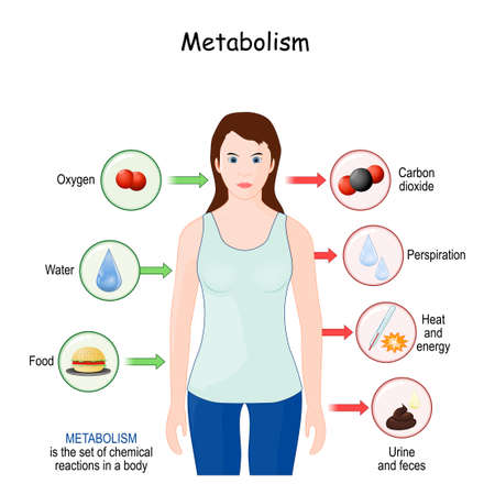 metabolism is the set of chemical reactions in a body for: the conversion of food to energy, and proteins; the elimination of metabolic wastes. vector illustration for medical and educational use Vektoros illusztráció