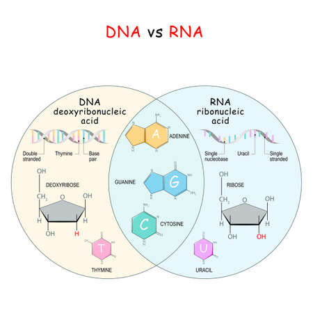 DNA and RNA. comparison and difference. Chemical structural formula and model of molecules DNA and RNA. Vector illustration