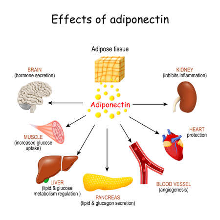 Effects of adiponectin. adipose tissue that produced protein hormone adipokine. Vector illustration Vector Illustration
