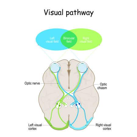 Visual pathway. Human's brain with eyes, optic nerves, and visual cortex. Vector illustration Ilustração Vetorial