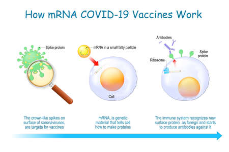 How mRNA Vaccines Work. COVID-19. pandemics caused development of the mRNA technology for new way to deliver a messenger RNA into a cell to produce antigens and antibodies for different disease.