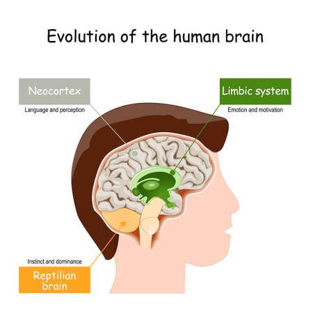 Brain Evolution from reptilian brain, to limbic system and neocortex. Vector illustration Ilustración de vector