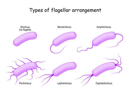 Types of flagellar arrangement for example bacteria: from Atrichous (no flagella) to Monotrichous, Peritrichous, Lophotrichous, Cephalotrichous, and Amphitrichous. Vector illustration