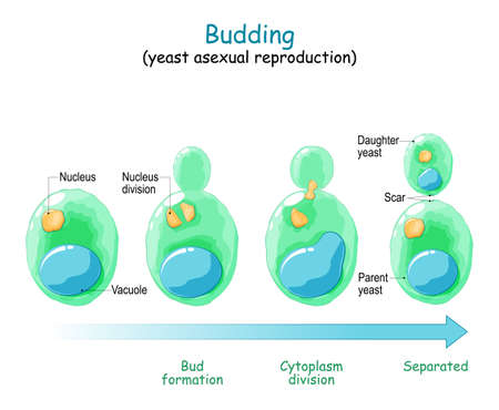Budding. asexual reproduction of yeast cell. Vector diagram