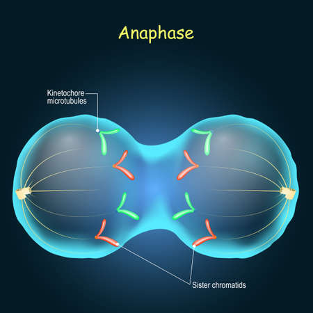 Anaphase. cell division in sexually-reproducing. Stage of mitosis. chromosomes are moved to opposite poles of the cell.