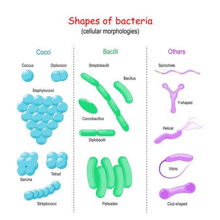 Shapes of bacteria. cellular morphologies: Bacilli, Cocci, Others (Vibrio, Helical, Y-shaped, Spirochete, Club-shaped). Ilustração Vetorial