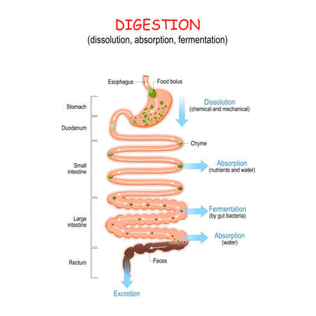 digestion (dissolution, absorption, fermentation). From food bolus or Chyme to Feces. Human digestive system: Esophagus, Stomach, Duodenum, Small and Large intestine, Rectum. Vector illustration for education