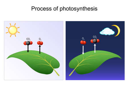 photosynthesis process. leaf of plant. day and night. Diagram for Photosynthesis explanation. chart of biology. posters for education and science use. vector illustration
