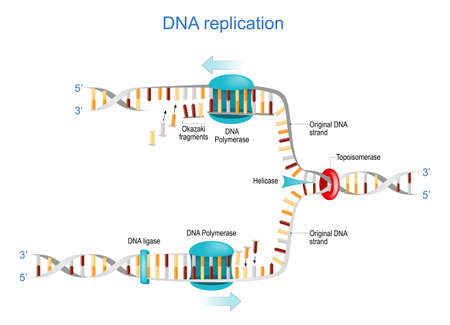 DNA replication. Okazaki fragments, Topoisomerase, Helicase, DNA Polymerase, DNA ligase and RNA. vector illustration. Poster for science and education