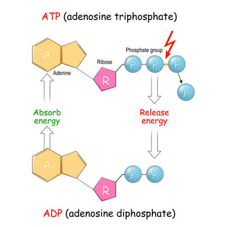 ATP and ADP. adenosine diphosphate, and adenosine triphosphate. Absorb and Release energy into cell. Vector illustration. Poster for education and science Illustration