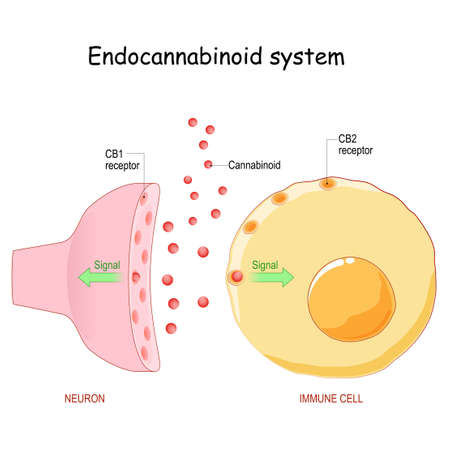 Endocannabinoid system. pharmacological effects of cannabis. Neuron with CB1 receptor and immune cell with CB2 receptor. Structure of a typical chemical synapse. Synaptic cleft and Neurotransmitter. vector illustration