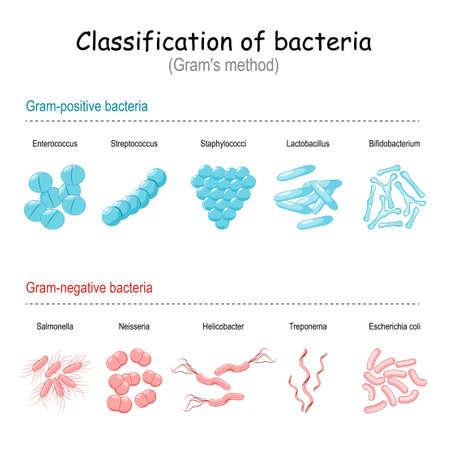 Classification of bacteria. Gram's method. Gram-negative and gram-positive bacteria. Vector illustration