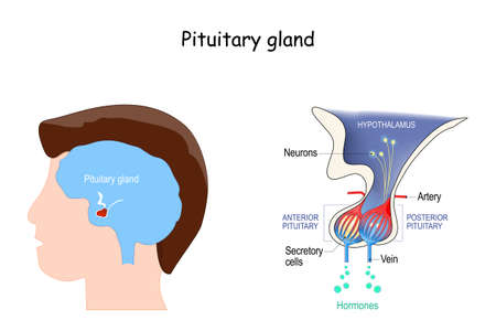 Pituitary gland anatomy. Hormones. location of hypophysis. vector illustration. diagram for education. medical poster about human's brain and endocrine system 矢量图像