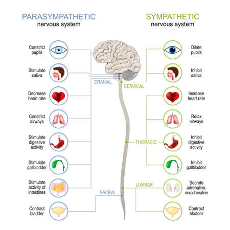 Sympathetic And Parasympathetic Nervous System. Difference. diagram with connected inner organs, brain and spinal cord. vector illustration