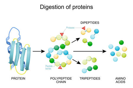 Protein Digestion. Enzymes (proteases and peptidases) are digestion breaks the protein into smaller peptide chains and into single amino acids, which are absorbed into the blood.