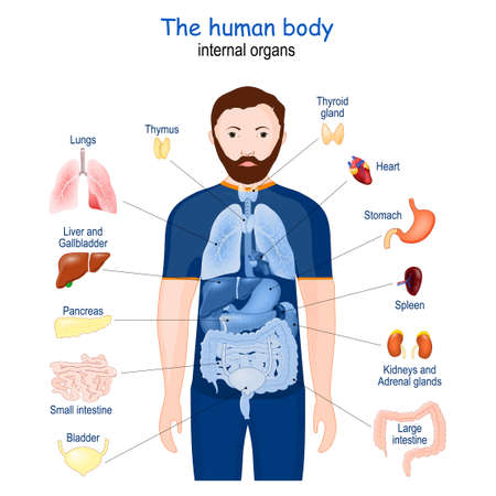 human body. internal organs. diagram. Poster with infographic about human's Anatomy. icons and definitions vector illustration 矢量图像