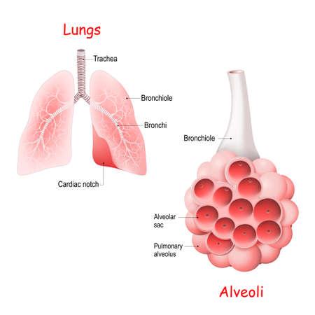 Pulmonary alveolus. alveoli, trachea, and bronchiole in the lungs. Vector illustration