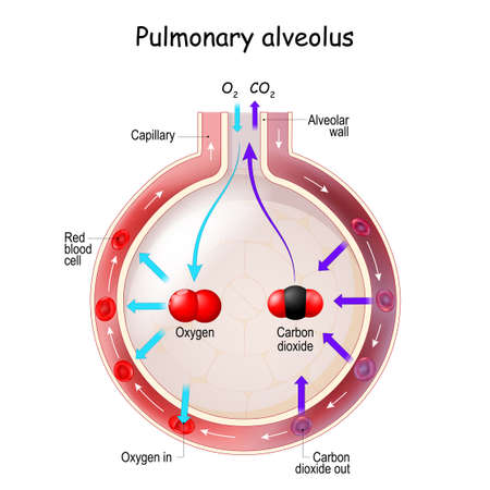 Alveolus Gas Exchange. Anatomy of Pulmonary alveolus. Oxygen And Carbon Dioxide, inhale and exhale
