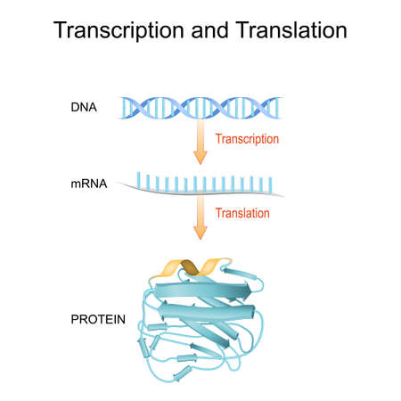 DNA, RNA, mRNA and Protein synthesis. Difference between Transcription and Translation. Biological functions of DNA. Genes and genomes. Genetic code.