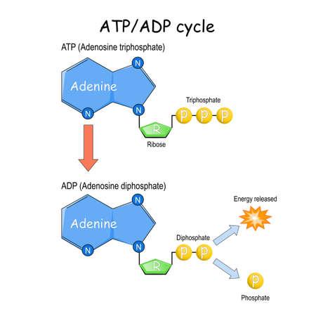 ATP ADP cycle. Vector illustration. Poster 矢量图像
