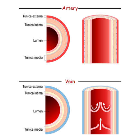 Vein and Artery anatomy. comparison and difference. longitudinal and cross section human blood vessel. Poster for medical and education use. Vector diagram