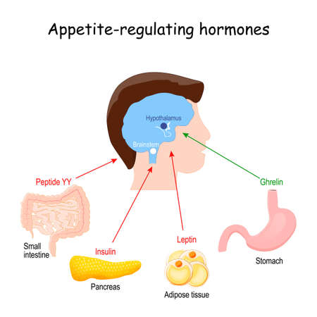 Leptin, ghrelin, insulin and Peptide YY. hormones that regulate metabolism, appetite, satiety and hunger. vector illustration