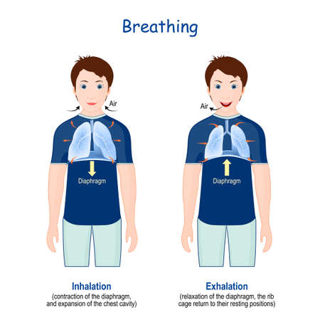 Breathing. Movement of rib cage during inspiration and expiration. diaphragm functions. Vector Infographics about breathing cycle and gas exchange.