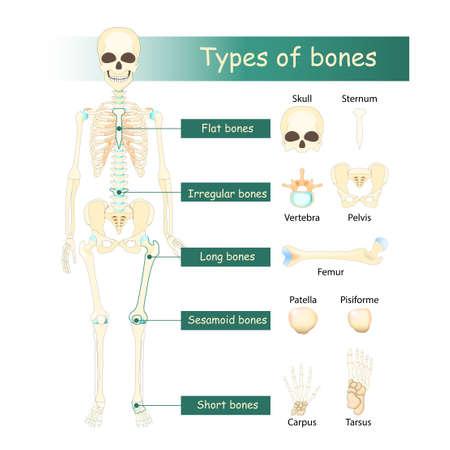 Bones types of Human skeleton: Flat, Long, Short, Sesamoid and Irregular bone. Classification of bones by shape.