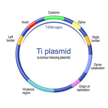 Ti plasmid structure. tumor inducing plasmid founds in pathogenic species of Agrobacterium. Vector illustration