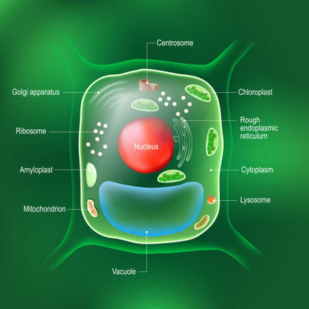 Anatomy of plant cell. All organelles: Nucleus, Ribosome, Rough endoplasmic reticulum, Golgi apparatus, mitochondrion, amyloplast, vacuole, chloroplast, cytoplasm, lysosome, Centrosome. cell on the green background.