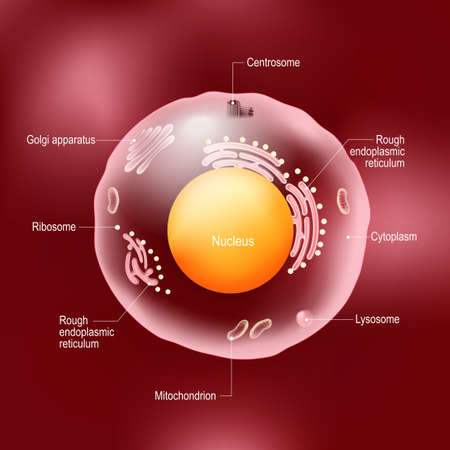Anatomy of human cell. All organelles: Nucleus, Ribosome, Rough endoplasmic reticulum, Golgi apparatus, mitochondrion, cytoplasm, lysosome, Centrosome. animal cell on red background.