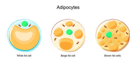 types of Adipocytes. Brown, Beige, and White fat cells