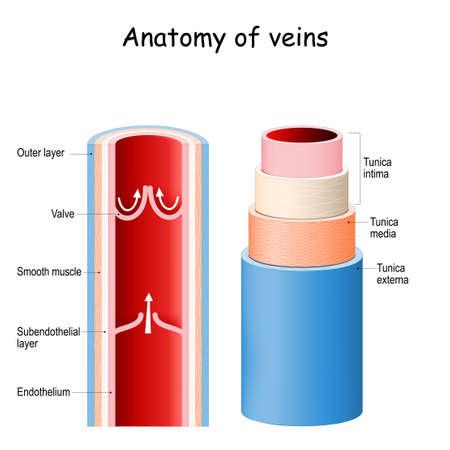 Cross section of vein. Blood vessel anatomy.