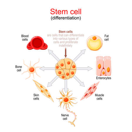 Stem cell differentiation. Stem cells are cells that can differentiate into various types of cells and proliferate indefinitely.