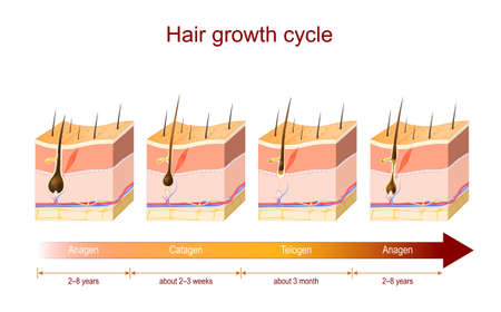 Hair growth cycle from Anagen to Catagen, and Telogen. Poster about Hair growth phase for education and medical use. Cross section of the layers of the skin. Vector illustration
