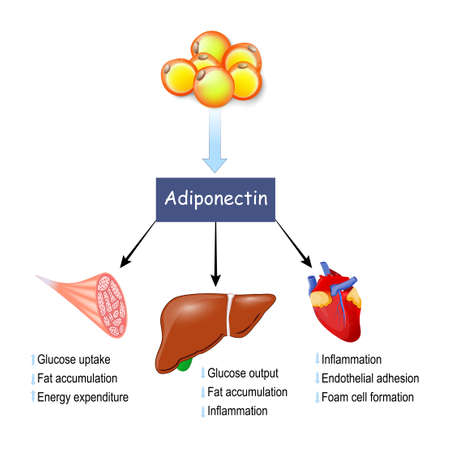 adiponectin. adipose tissue produced protein hormone adipokine. Effects of adiponectin on muscle, liver and heart. Vector illustration