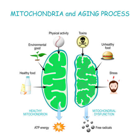 Mitochondria and aging process. Healthy Mitochondrion are produce of Atp energy, cell organelles with Dysfunction produce of Free radicals.