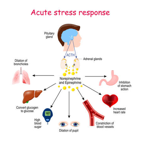 Acute stress response. Reaction of endocrine system. Hormones (Norepinephrine, Epinephrine, ACTH), and Target organs (heart, lungs, liver, eyes, blood vessel, stomach). Endocrine glands