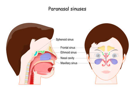 Paranasal sinuses. Ethmoid, Frontal, Maxillary, Sphenoid sinuses, and Nasal cavity. frontal view and Lateral projection on woman face. Vector illustration
