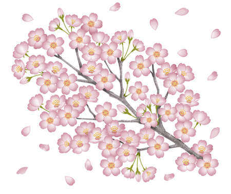 Branches of cherry blossoms. photo