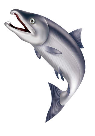 Illustration of jumping salmon.  White background.