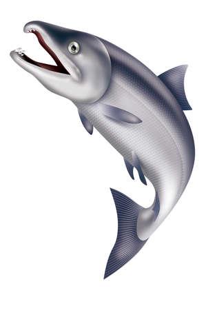 salmon ahumado: Ilustración de salto del salmón. Fondo blanco.