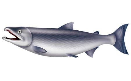 鮭のイラストです。白い背景。 写真素材