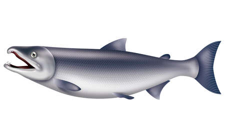 tools icon: Illustration of the salmon. White background. Stock Photo