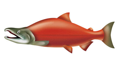 Illustration of the sockeye salmon. Or red salmon.